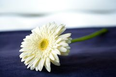 Pyrethrum Flower on the bed Stock Photo