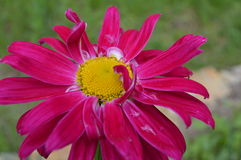 Pyrethrum hybridum- Crimson giant. Stock Photography