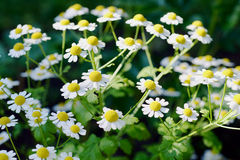 Pyrethrum parthenium. White flowers like chamomile Royalty Free Stock Image