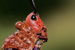Free Pyrgomorphid Grasshopper Royalty Free Stock Images - 19174829