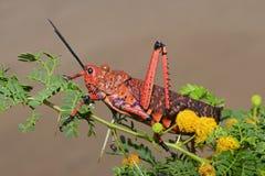 Pyrgomorphid grasshopper Royalty Free Stock Photos