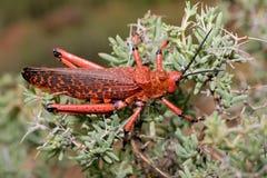 Pyrgomorphid grasshopper Royalty Free Stock Photo