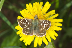 Pyrgus malvae Butterfly (Grizzled skipper). With a natural background Stock Photography