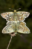 Pyrgus malvae Butterfly mating (Grizzled skipper). With a black background Royalty Free Stock Photo