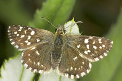 Pyrgus malvae / Grizzled Skipper butterfly. Close-up Stock Photos