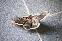 Pyri de Saturnia ou mite de peackock sur le plancher gris photographie stock libre de droits