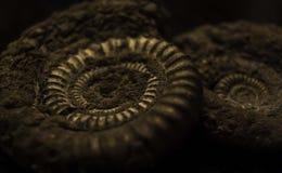 Pyritised ammonit Fotografering för Bildbyråer