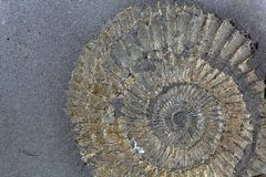 Pyritized-Ammonit stockfotografie
