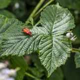 Pyrochroa serraticornis beetle stock images
