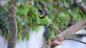 Pyrolophus Psilopogon Barbet огня Tufted зеленый тропический уроженец птицы к Суматре и малайзийский полуостров показывающ, что с видеоматериал
