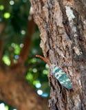 Pyrops Candelária sur l'arbre image libre de droits