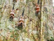 Pyrops candelaria на дереве Стоковое Изображение