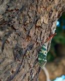 Pyrops candelaria на дереве Стоковые Изображения
