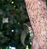 Pyrops candelaria на дереве Стоковое Фото