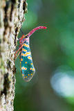Pyrops candelaria. One Pyrops candelaria on tree royalty free stock photos