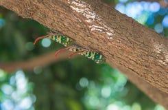 Pyrops Candelaria, Lanternflies lub Fulgorid pluskwa, umieszczał na longa zdjęcie stock