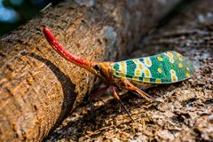 Pyrops candelaria planthopper Stock Photography