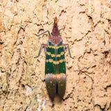 Pyrops karenia lantern bug Royalty Free Stock Image