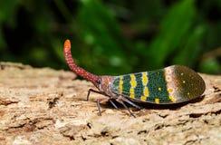 Pyrops karenia lantern bug or planthopper clinging on the tree Stock Photo