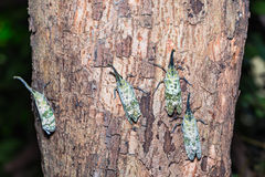 Pyrops spinolae lantern bug. Close up of Pyrops spinolae lantern bug or planthopper clinging on the tree trunk in nature, dorsal view royalty free stock images