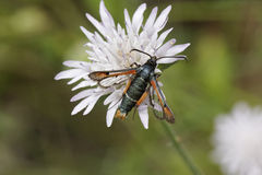 Pyropteron chrysidiforme, Fiery Clearwing moth. From Southern Europe Royalty Free Stock Photography