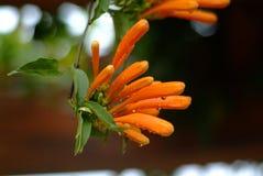 Pyrostegia. Flame vine, Pyrostegia venusta, in autumn in spring city(wammer place Stock Images