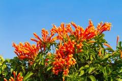 Pyrostegia venusta开花知名作为橙色喇叭 免版税图库摄影