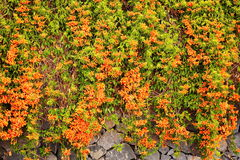 Pyrostegia Venusta橙色喇叭花 库存图片