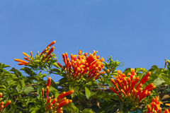 Pyrostegia venusta flowers well known as Orange trumpet Stock Photography