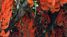Pyrostegia Venusta pomarańcze piękni kwiaty zbiory