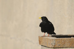 Pyrrhocorax graculus - Yellow-billed Chough, Alpin Royalty Free Stock Photography