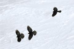 Pyrrhocorax graculus - Yellow-billed Chough flying in Alps mountains. In winter Royalty Free Stock Photo