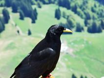 Pyrrhocoraxgraculus, Alpiene chough of geel-gefactureerd chough stock foto