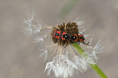 Pyrrhocoridae Foto de Stock
