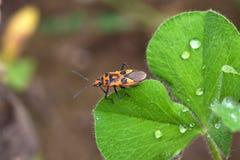Pyrrhocoridae Imagen de archivo libre de regalías