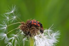 Pyrrhocoridae Imágenes de archivo libres de regalías
