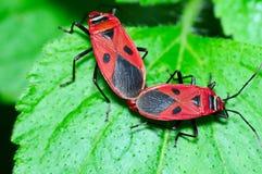 Pyrrhocoridae bugs mating Royalty Free Stock Images
