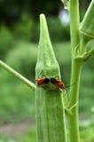 Pyrrhocoridae het koppelen Royalty-vrije Stock Fotografie
