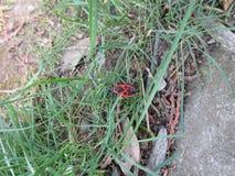 Pyrrhocoridae i gräset royaltyfri fotografi