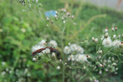 Pyrrhocoris-apterus Anschluss stockbild