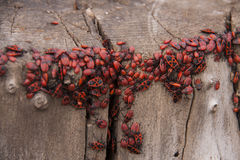 Pyrrhocoris apterus or Bedbugs-soldiers on a tree, red-black beetles Royalty Free Stock Photo