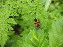 Pyrrhocoris apterus Stock Images