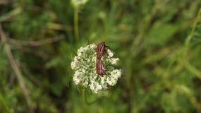 Pyrrhocoris apterus Stock Photo