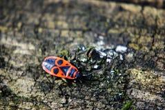 Pyrrhocoris apterus del Firebug Fotografia Stock