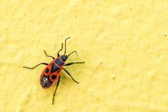 Pyrrhocoris apterus dell'insetto o dell'insetto del Firebug sulla parete gialla Immagine Stock