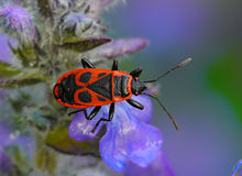Pyrrhocoris apterus, Firebug Stock Photos