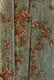 Pyrrhocoris-apterus hört Kolonie auf dem Bretterzaun ab lizenzfreie stockfotos