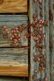 Pyrrhocoris-apterus hört Kolonie auf dem Bretterzaun während des Sommertages ab lizenzfreie stockfotos