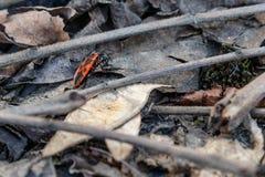Pyrrhocoris apterus in the natural habitat. Pyrrhocoris apterus in a natural habitat, moves on dry leaves Stock Photo