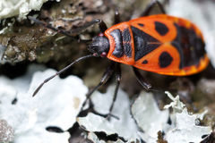 Pyrrhocoris-Firebug Stock Photo